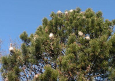 nidi di processionaria su pino